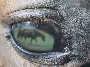 Hästen i ögat