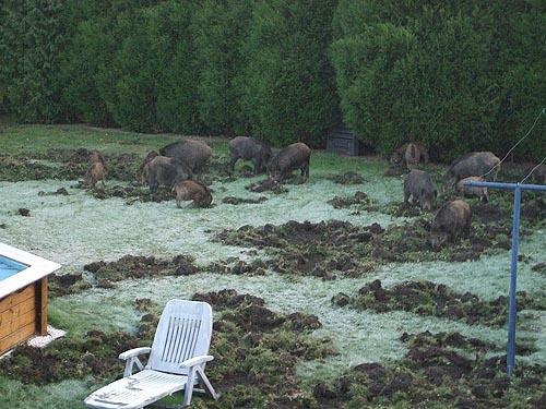 Vildsvin bökar upp hela marken på en natt